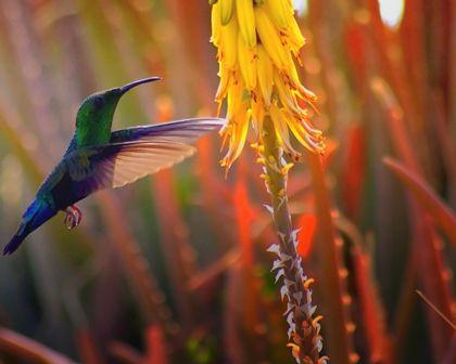 colibri in St Barts