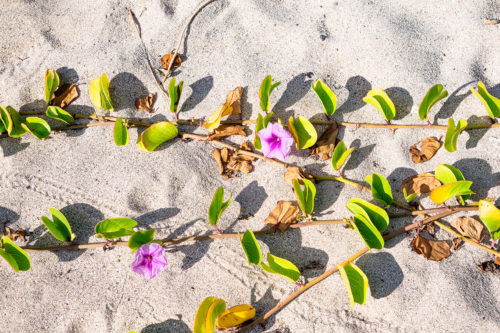 Flowers on the sand of Saint Barth