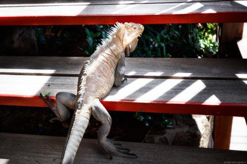 Iguanas of St Barts