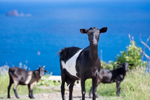 Goats in Saint Barts